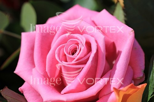 Flower royalty free stock image #369634604