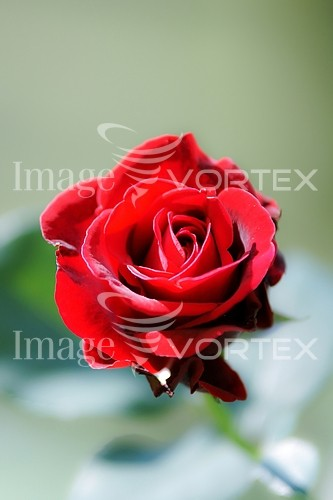 Flower royalty free stock image #421956763