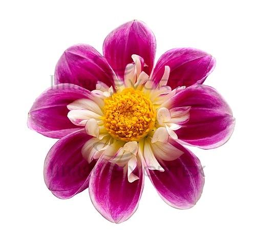 Flower royalty free stock image #559366557