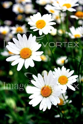 Flower royalty free stock image #703493250