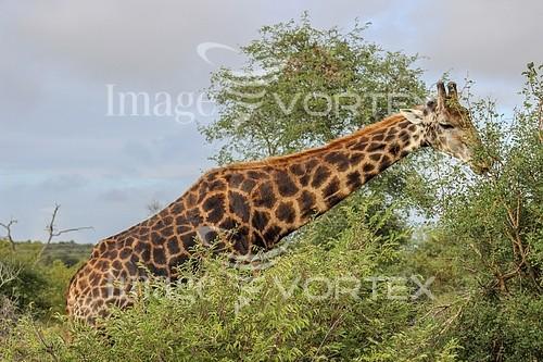 Animal / wildlife royalty free stock image #952590987