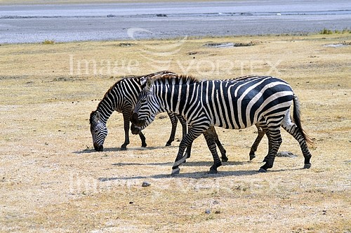 Animal / wildlife royalty free stock image #976692425