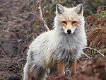 Fox royalty free stock image - click to enlarge