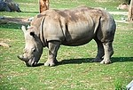 Ceratotherium royalty free stock image - click to enlarge