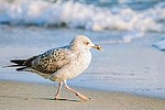 Common / gull royalty free stock image - click to enlarge
