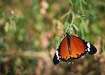 Butterfly royalty free stock image - click to enlarge